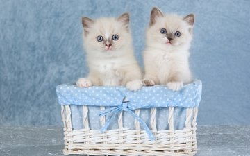 ткань, пара, кошки, голубой фон, котята, два, двое, корзинка, бантик, сидят, милые, сиамские, голубоглазые, колор-пойнт