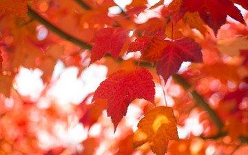 природа, листья, макро, осень, размытость