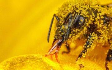 макро, насекомое, пчелы, пчела, пыльца, hymenoptera