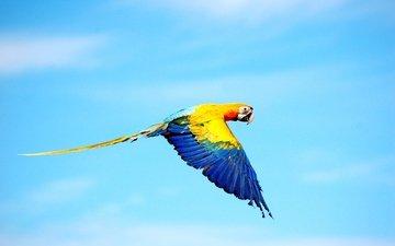 небо, цвета, полет, крылья, птица, попугай, ара