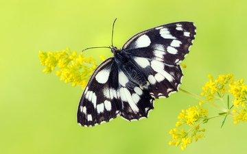 цветы, насекомое, бабочка, крылья
