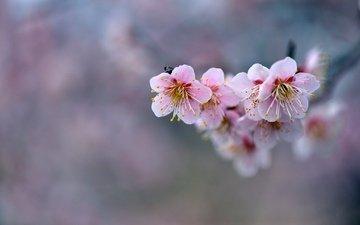 flowers, branch, background, pink, sakura