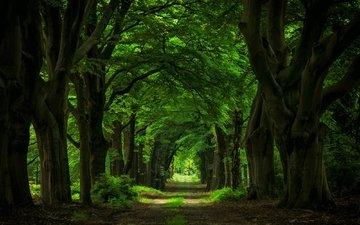 дорога, деревья, природа, лес, стволы, арка, аллея, гиганты