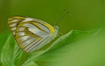 insect, butterfly, wings, sheet, plant