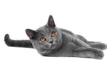 кот, взгляд, порода, лапки, британец