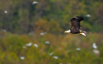 полет, крылья, птица, рыба, белоголовый орлан