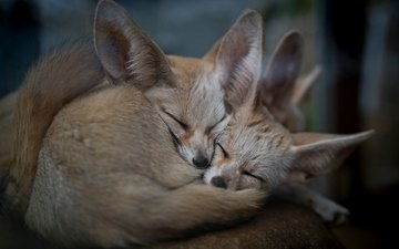 природа, животные, фенек, ушки, уют, лисички