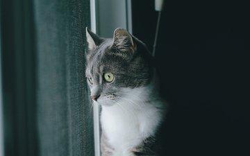 кот, шерсть, серый