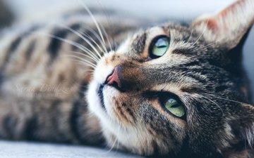 кот, усы, лежит, ушки, мордашка, зеленые глаза