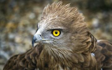 орел, птица, перья, беркут, перышки, желтые глаза, yellow eye, птаха