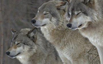 природа, животные, хищники, волки