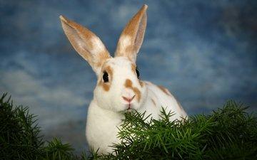 небо, трава, белый, кролик, животное, сумерки, уши, заяц, грызун, пятнистый