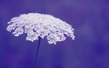 цветы, макро, фон, фиолетовый, цветочки, цветы, цветком
