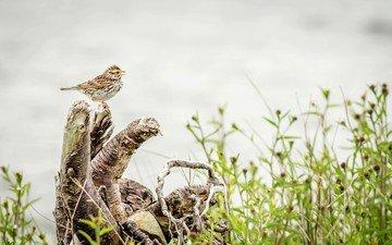 птица, дождь, пение, rainy, птаха, вокалист