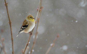 snow, winter, bird, snowing