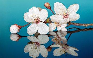 цветы, макро, отражение, лепестки, слива