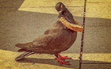 the situation, bird, dove, bread crust