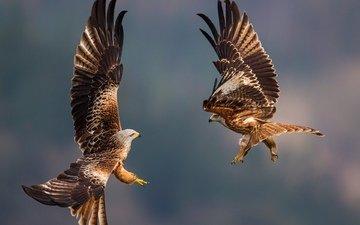 природа, крылья, небеса, птицы, схватка, размах крыльев, соколы, пернатые