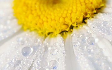вода, макро, цветок, капли, лепестки, ромашка