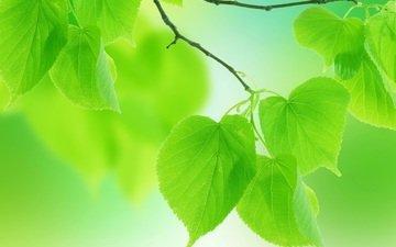 природа, макро, лето, лепестки, зеленые листья, веточки