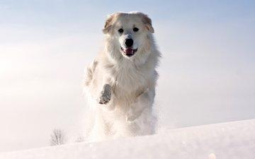 морда, снег, зима, шерсть, лапы, собака, холод, животное, уши, белая, бежит