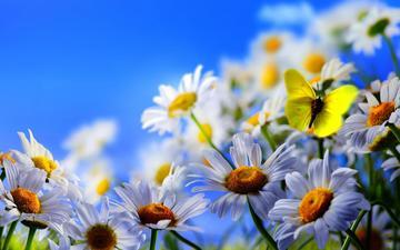 цветы, макро, бабочка, ромашки, синее небо