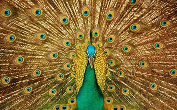 look, patterns, bird, beak, peacock, beautiful, tail