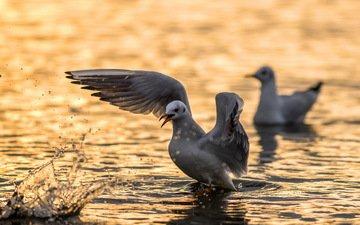 вода, чайка, птицы, angry bird