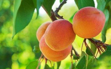 фрукты, абрикос, абрикосы
