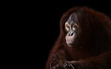 background, look, monkey, orangutan