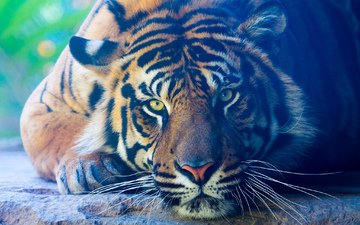 тигр, лапы, взгляд, лежит, хищник, животное, окрас