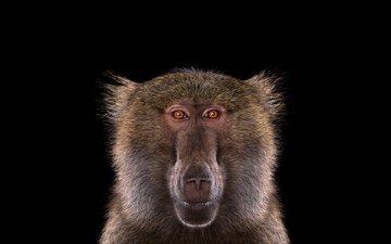 фон, взгляд, обезьяна, бабуин, павиан