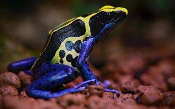frog, colors, poisonous
