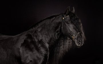 лошадь, фон, черный, черный фон, конь, блака, вороной
