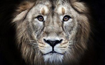 глаза, морда, хищник, лев, мех, леон, взор