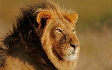 свет, солнце, кошка, лев, вс, леон, feline, легкие