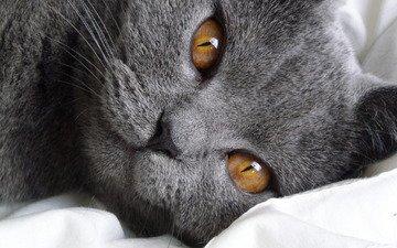 кот, взгляд, порода, британец, короткошерстный