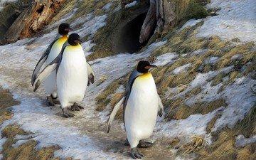 животные, пингвины, животно е