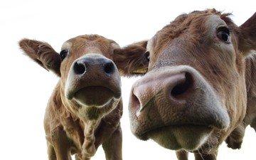 животные, коровы, животно е