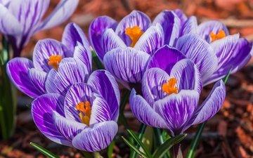 макро, весна, крокус, шафран