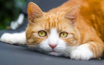 кот, мордочка, кошка, взгляд, рыжий кот