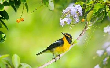 цветы, ветка, птица, ягоды, птичка, цветки, мухоловка, японская мухоловка, дуранта