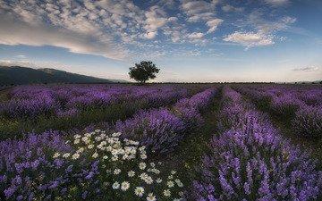 цветы, природа, поле, лаванда, лето, луг, ромашки