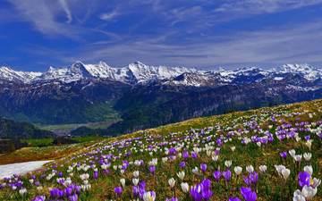 цветы, трава, горы, снег, склон, весна, крокусы, крокус