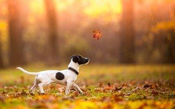 осень, лист, щенок, клен