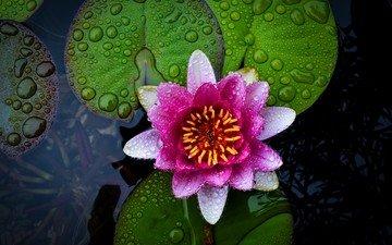 цветы, вода, природа, цветок, лилия, кувшинка, нимфея, водяная лилия