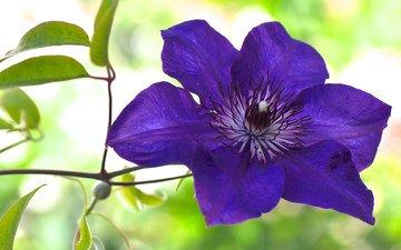 макро, цветок, фиолетовый, клематис, ломонос