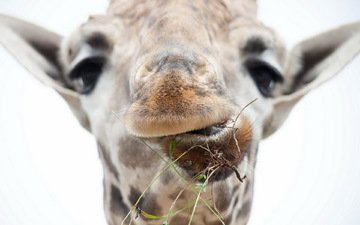 морда, макро, жираф