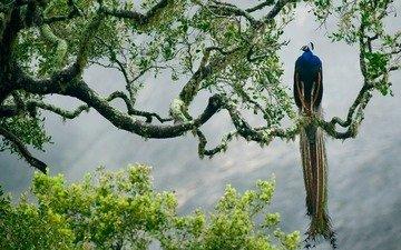 птица, павлин, джунгли, изморось, красочная, дерево