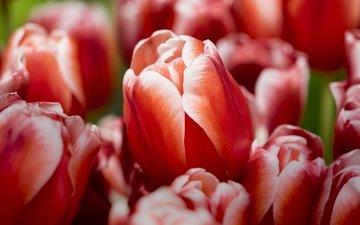бутоны, макро, тюльпаны